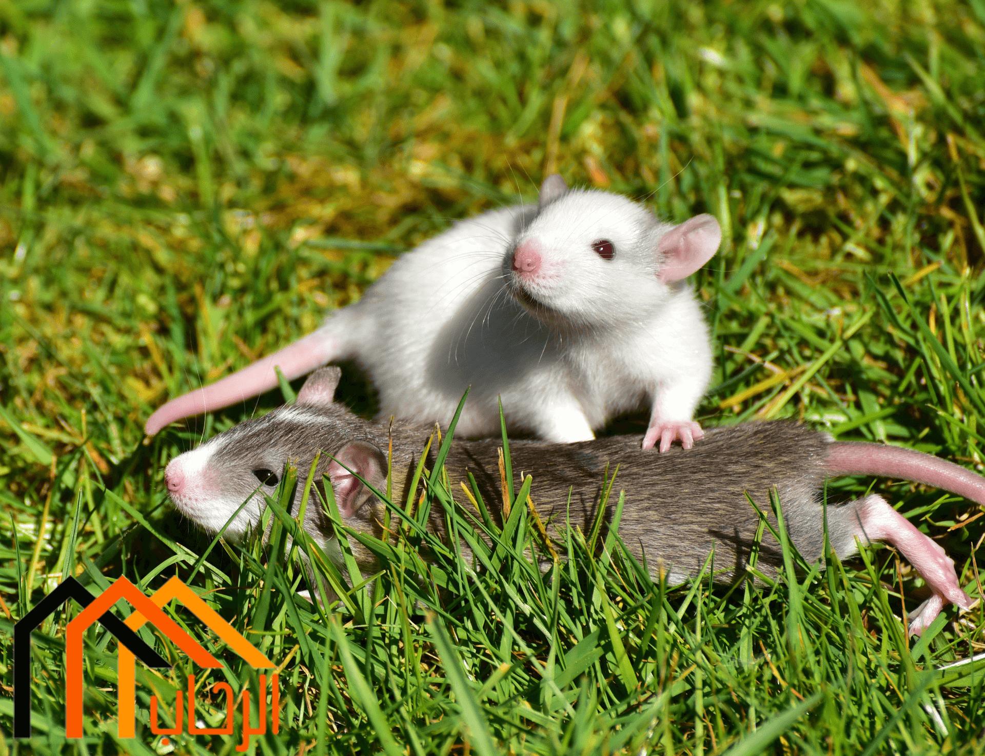 Photo of طرق مكافحة الفئران