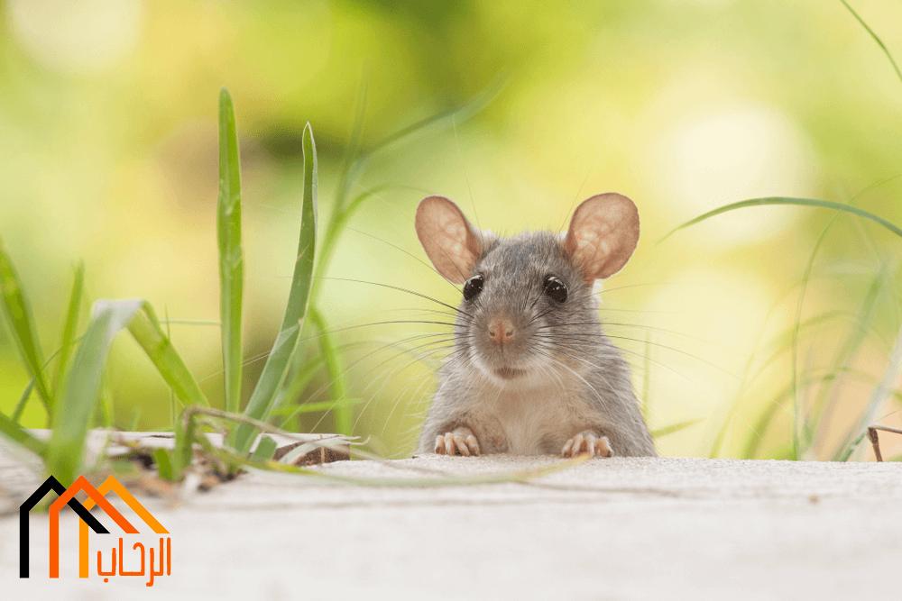 افضل الاساليب للتخلص من الفئران