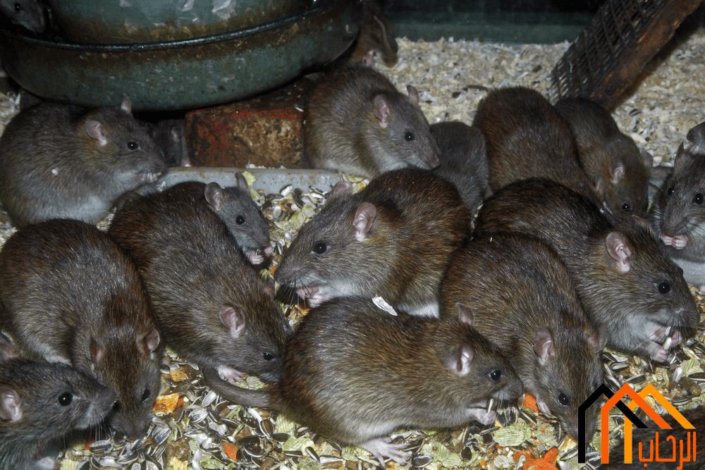 كيفية قتل الفئران