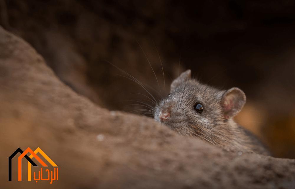 اكثر طرق مكافحة الفئران انتشارا