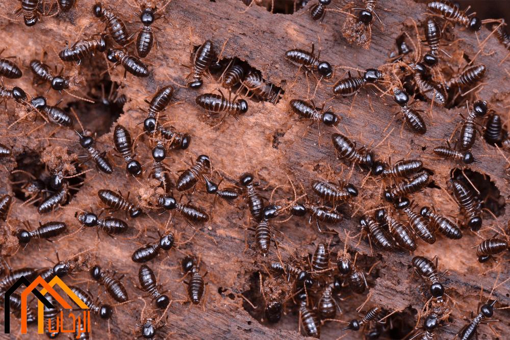 كيفية القضاء على النمل الاسود