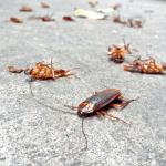 اسهل الطرق للقضاء على الصراصير