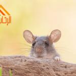 طرق منع الفئران من الدخول للمنزل