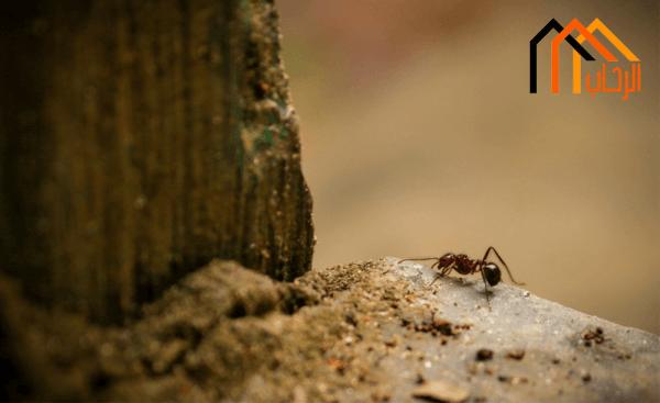طرق التخلص من النمل الأسود